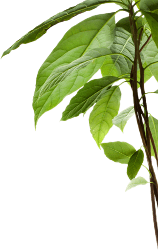 Avocado tree branch